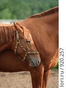 Купить «Лошади», фото № 920257, снято 14 июня 2009 г. (c) Яна Королёва / Фотобанк Лори
