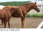 Купить «Пара гнедых лошадей в загоне на конюшне», фото № 920273, снято 14 июня 2009 г. (c) Яна Королёва / Фотобанк Лори