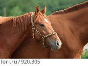 Купить «Лошади», фото № 920305, снято 14 июня 2009 г. (c) Яна Королёва / Фотобанк Лори