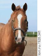 Купить «Портрет лошади», фото № 920341, снято 14 июня 2009 г. (c) Яна Королёва / Фотобанк Лори