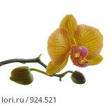 Купить «Орхидея на белом фоне», фото № 924521, снято 18 мая 2009 г. (c) Тимофеев Павел / Фотобанк Лори