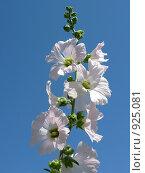 Купить «Белый цветок», фото № 925081, снято 12 мая 2009 г. (c) Юлия Подгорная / Фотобанк Лори
