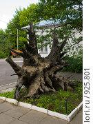 Купить «Корень трехсотлетнего дуба», фото № 925801, снято 7 июня 2009 г. (c) Олег Тыщенко / Фотобанк Лори