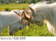 Купить «Две козы бодаются», фото № 926009, снято 13 июня 2009 г. (c) Алексей Крылов / Фотобанк Лори