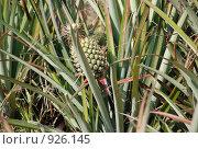 Растущий ананас в поле. Стоковое фото, фотограф Ксения Шаханова / Фотобанк Лори