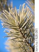 Купить «Сосновая ветка покрытая инеем на фоне синего неба», фото № 928081, снято 9 ноября 2008 г. (c) Александр Тараканов / Фотобанк Лори