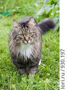 Купить «Пушистый кот гуляет в траве», фото № 930197, снято 24 августа 2008 г. (c) Ирина Карлова / Фотобанк Лори