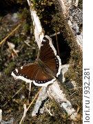 Купить «Коричневая бабочка с желтой каймой по краю крыльев», фото № 932281, снято 6 июня 2009 г. (c) Максим Антипин / Фотобанк Лори