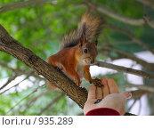 Купить «Белка ест с руки», фото № 935289, снято 21 июня 2009 г. (c) Тимофеев Павел / Фотобанк Лори