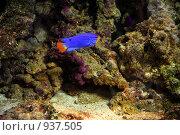 Купить «Голубая рыбка в коралловых рифах», фото № 937505, снято 18 августа 2006 г. (c) Михаил Малышев / Фотобанк Лори