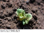 Купить «Побеги картофеля», фото № 940821, снято 31 мая 2009 г. (c) Ivan Korolev / Фотобанк Лори