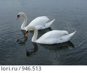 Лебеди. Стоковое фото, фотограф Алла Виноградова / Фотобанк Лори