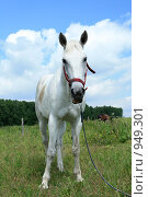 Купить «Лошадь белая стоит в поле», фото № 949301, снято 29 июня 2009 г. (c) Яна Королёва / Фотобанк Лори