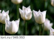 Фон из белых тюльпанов. Стоковое фото, фотограф Анна Фролова / Фотобанк Лори