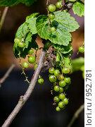 Купить «Зеленые ягоды смородины», фото № 952781, снято 17 октября 2018 г. (c) Парушин Евгений / Фотобанк Лори