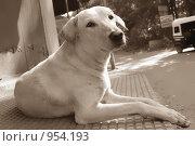 Собака смотрит в сторону. Стоковое фото, фотограф Ксения Шаханова / Фотобанк Лори