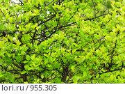 Купить «Зеленые листья на ветках», фото № 955305, снято 25 мая 2009 г. (c) Валерий Крывша / Фотобанк Лори