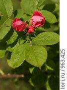 Купить «Бутоны роз», фото № 963425, снято 16 июня 2009 г. (c) Смирнова Лидия / Фотобанк Лори