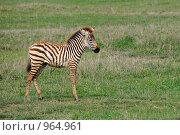 Купить «Жеребенок зебры», фото № 964961, снято 25 января 2008 г. (c) Знаменский Олег / Фотобанк Лори