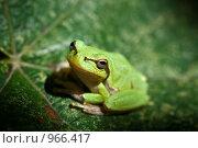 Лягушка на листе. Стоковое фото, фотограф Анастасия Кутейникова / Фотобанк Лори