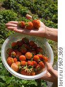 Купить «Ягоды клубники на руке», фото № 967369, снято 27 июня 2009 г. (c) Григорьева Любовь / Фотобанк Лори