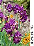 Купить «Цветы ириса», фото № 967733, снято 15 мая 2009 г. (c) Юрий Брыкайло / Фотобанк Лори