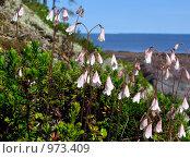 Купить «Линнея северная (Linnaea borealis) на фоне Белого моря. Остров Кий», эксклюзивное фото № 973409, снято 30 июня 2009 г. (c) Тамара Заводскова / Фотобанк Лори