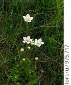 Купить «Белозор болотный (Parnassia palustris)», эксклюзивное фото № 975717, снято 3 июля 2009 г. (c) Тамара Заводскова / Фотобанк Лори