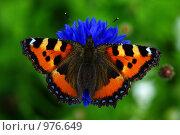 Купить «Бабочка крапивница на цветке василька», фото № 976649, снято 11 июля 2009 г. (c) Саломатников Владимир / Фотобанк Лори
