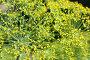 Соцветие укропа, фото № 978025, снято 22 февраля 2017 г. (c) severe / Фотобанк Лори