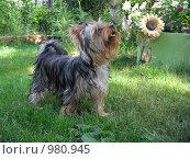 Купить «Йоркширский терьер», фото № 980945, снято 9 июля 2009 г. (c) Евгения Плешакова / Фотобанк Лори
