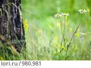 Ромашки и дерево. Стоковое фото, фотограф Минаев С.Г. / Фотобанк Лори