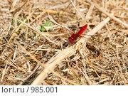 Яркая красная стрекоза. Стоковое фото, фотограф Екатерина Душенина / Фотобанк Лори
