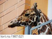 Голова жирафа. Стоковое фото, фотограф Андрей Лисняк / Фотобанк Лори