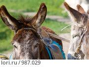 Купить «Осел», фото № 987029, снято 6 мая 2009 г. (c) Юрий Брыкайло / Фотобанк Лори