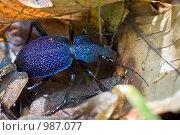 Купить «Синий жук», фото № 987077, снято 12 мая 2009 г. (c) Юрий Брыкайло / Фотобанк Лори