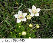Купить «Белозор болотный (Parnassia palustris)», эксклюзивное фото № 990445, снято 3 июля 2009 г. (c) Тамара Заводскова / Фотобанк Лори