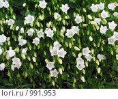 Купить «Много маленьких белых карпатских колокольчиков на клумбе», эксклюзивное фото № 991953, снято 23 июня 2009 г. (c) Тамара Заводскова / Фотобанк Лори