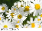 Купить «Ромашки», фото № 992277, снято 17 июля 2009 г. (c) Юрий Бельмесов / Фотобанк Лори