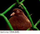 Обитатель голубятни. Стоковое фото, фотограф Андрей Рудаков / Фотобанк Лори