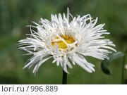 Белая махровая ромашка. Стоковое фото, фотограф Gagara / Фотобанк Лори
