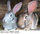 Купить «Два кролика в клетке», фото № 997233, снято 12 июля 2009 г. (c) Лилия / Фотобанк Лори