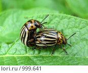 Колорадские жуки на картофельном листе. Стоковое фото, фотограф Iv Merlu / Фотобанк Лори