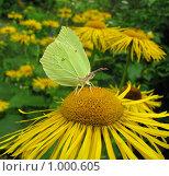 Бабочка лимонница на цветке девясила. Стоковое фото, фотограф Iv Merlu / Фотобанк Лори