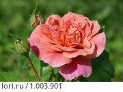Роза с бутонами. Стоковое фото, фотограф Наталия Шевченко / Фотобанк Лори