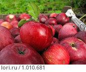 Красные яблоки в ящике. Стоковое фото, фотограф Дарья Суворова / Фотобанк Лори