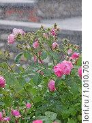 Купить «Розы под дождем», фото № 1010705, снято 30 июля 2009 г. (c) Ольга Шаран / Фотобанк Лори