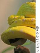 Купить «Зеленый питон», фото № 1010769, снято 30 июля 2009 г. (c) Ольга Шаран / Фотобанк Лори