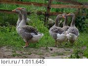 Купить «Гуси», фото № 1011645, снято 12 июля 2009 г. (c) Алексей Баранов / Фотобанк Лори