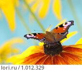 Купить «Бабочка павлиний глаз на желтом цветке», фото № 1012329, снято 20 июля 2009 г. (c) Ковалев Василий / Фотобанк Лори